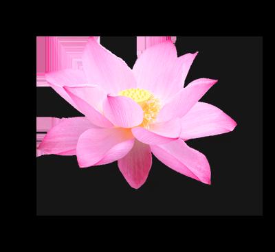 lotus_flower_3-mini
