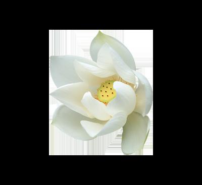lotus_flower_blanc2_mini