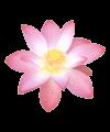 lotus_flower_2-mini